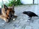 hond en kraai...