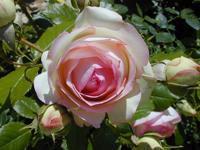 Rozen Dossier Organisch Tuinieren Seniorennet Website
