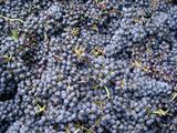 Dossier Vitaliteit - Druiven
