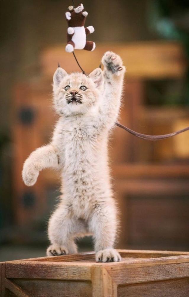 Seniorennet grappig of schattig een kleine lynx zo schattig als een poesje seniorennet - Ontwikkel een kleine huisinvoer ...
