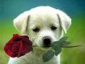 ik geef je een roosje, mijn roosje...