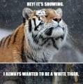 de witte tijger!