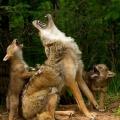 leren huilen al een wolf...