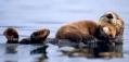 lieve otterfamilie