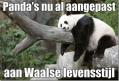 Panda's in de Walen...