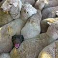 de taak van de herdershond is niet steeds makkelijk...